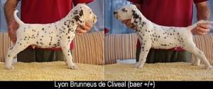 Lyon-cachorro
