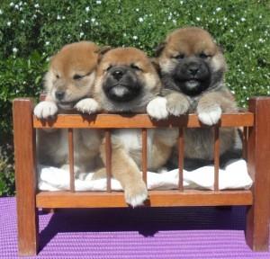 cachorros shiba 1